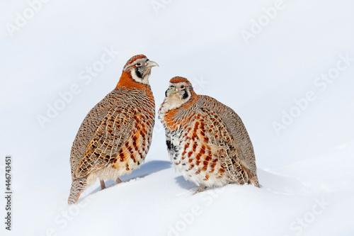 Fotografie, Obraz Tibetan Partridge, Perdix hodgsoniae, bird sitting in the snow and rock in the winter mountain