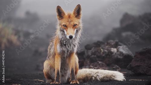 Fotografering Funny red fox in Kamchatka