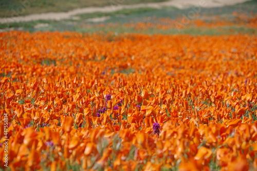 Fototapeta Poppies forever in antelope valley California