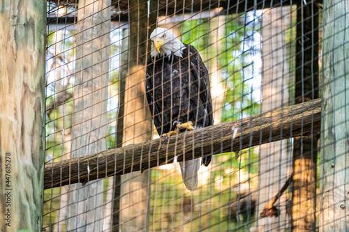 Valokuva Bald Eagle in Captivity