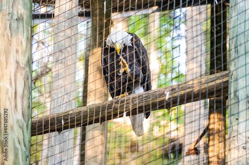 Fototapeta Bald Eagle in Captivity