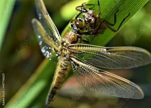Dragonfly emerging on pond reed Fototapet