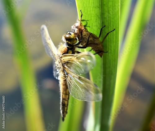 Billede på lærred Dragonfly emerging on pond reed