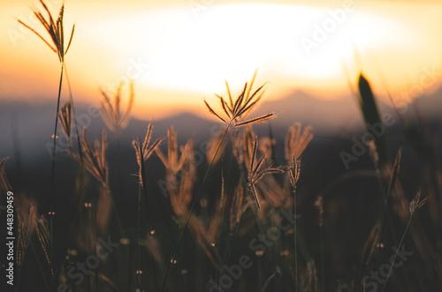 Obraz na plátně Closed up wild grass flower in dark tone over blur nature background of sunset l