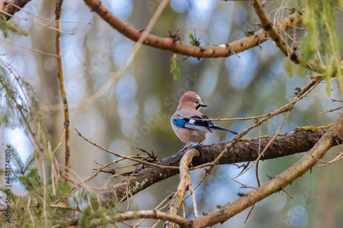 Fototapeta A jay sits on the branch of a spruce in the forest