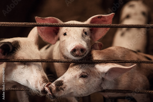 Photo Domestic pigs on a pig farm