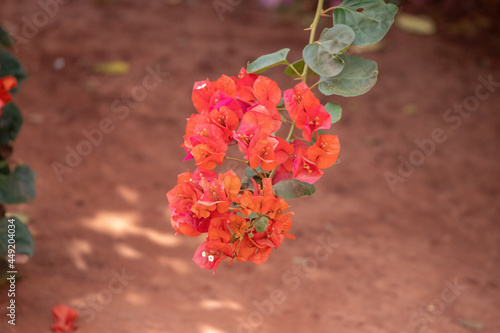 Fotografiet ornamental plant flowers