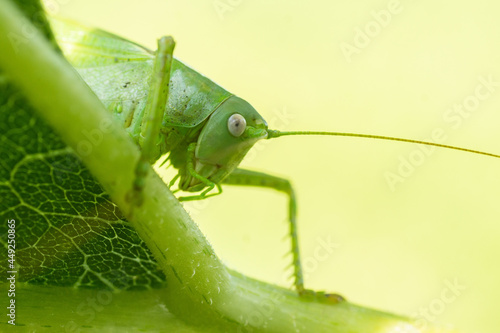 Fotografie, Obraz A green grasshopper on a large leaf of grass, in its natural environment