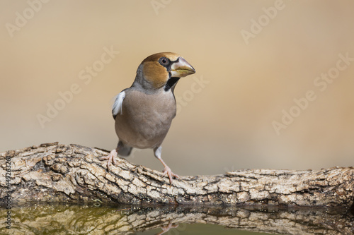 Fotografie, Obraz Closeup of a hawfinch perched on wood in a pond with a blurry background