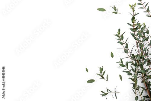 Fotografie, Obraz Green eucalyptus branches on white background