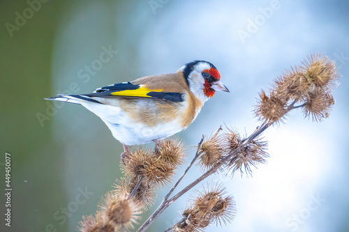 Fotografie, Obraz European goldfinch bird, Carduelis carduelis, perched eating seeds in snow durin