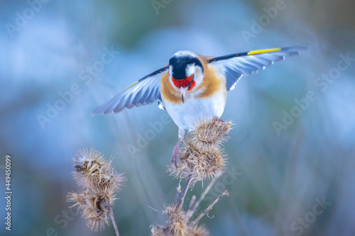 Fototapeta European goldfinch bird, Carduelis carduelis, perched eating seeds in snow durin
