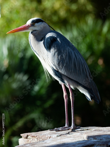 Fotografie, Tablou Grey heron posing on a stone. High quality photo