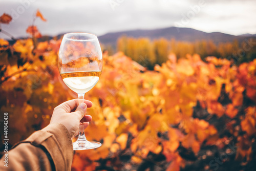 Cuadros en Lienzo White wine in wineglass near grapevine with red and yellow leaves on vineyard at bright sunlight on nice autumn day closeup