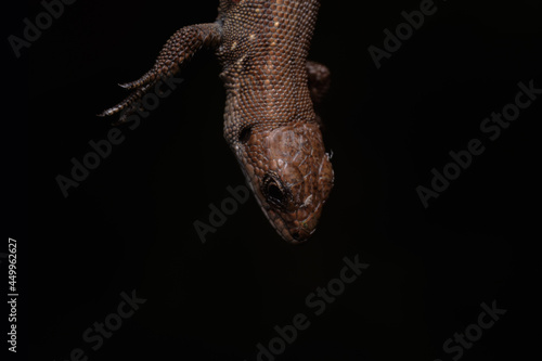 Fotografia Common European wall lizard (Lacerta agilis) Reptile with brown, black and yellow scales