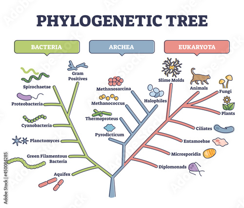 Fotografie, Tablou Phylogenetic tree, phylogeny or evolutionary classification outline diagram