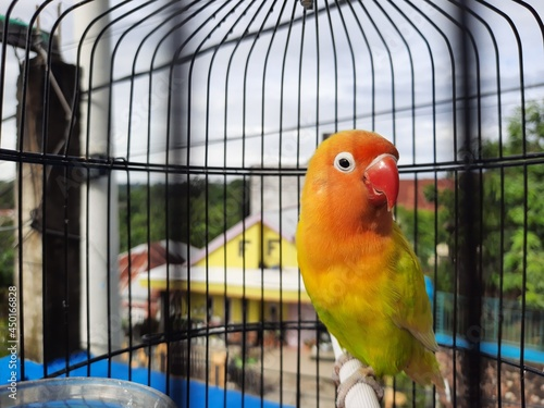 Tablou Canvas Yellow Lovebird In Cage