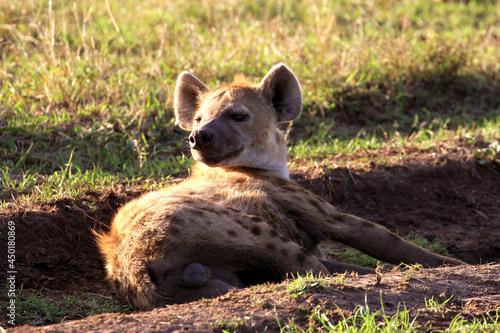 Obraz na plátně Hyena Relaxing On Field