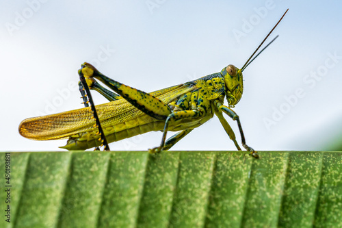 Close-up Of Grasshopper On Banana Leave Fototapet