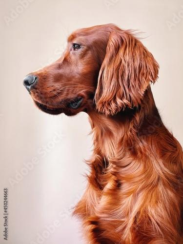 Close-up Of Dog Irish Red Setter Looking Away Against White Background Fototapeta
