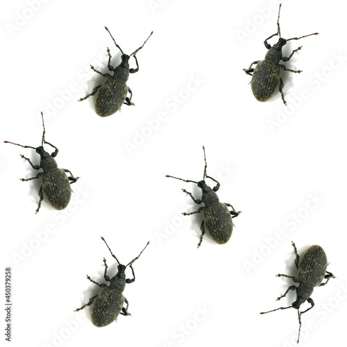 Isolated weevil beetle insects background Fotobehang