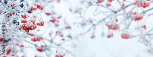 Fotografie, Tablou Winter Christmas background with red berries of viburnum on a light background d