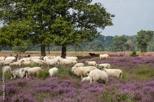 Fotografie, Obraz The sheepdog keeps a close eye on the flock of sheep on the blooming heather landscape