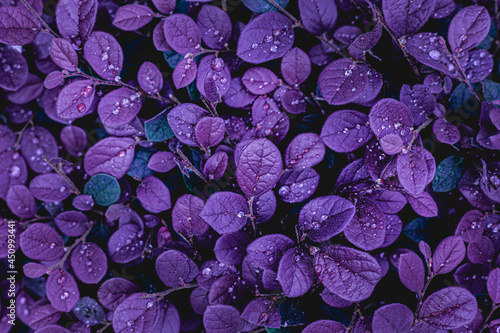 Canvas-taulu closeup nature view of purple leaves background, abstract leaf texture