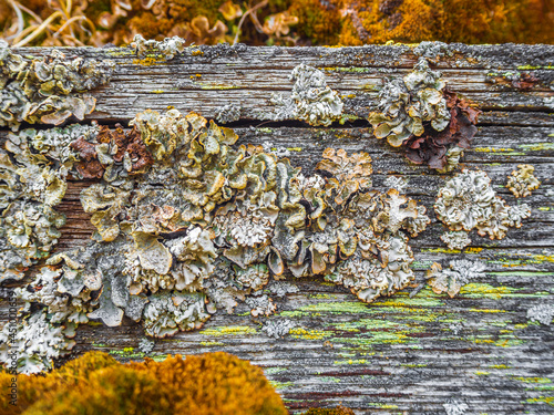 Fototapeta Old wood texture with green orange moss and lichen Norway.