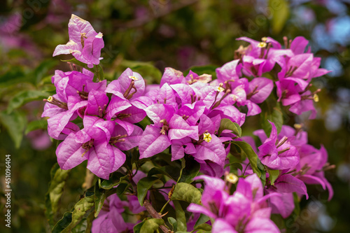 ornamental plant flowers Fototapet
