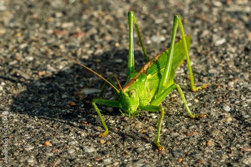 Fototapeta large green grasshopper sits on an asphalt road