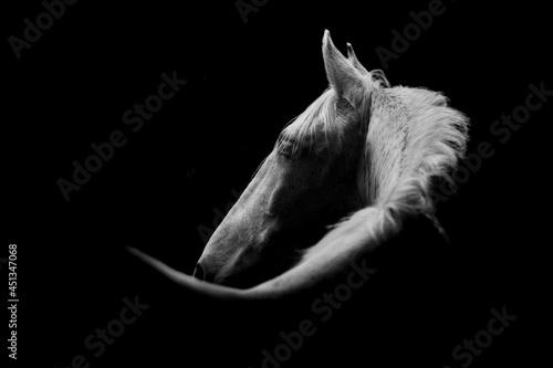 Fotografie, Obraz Fine art white horse low light portrait beautiful background or print