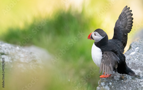 Leinwand Poster Atlantic puffin (Fratercula arctica) from Norway portrait with negative space