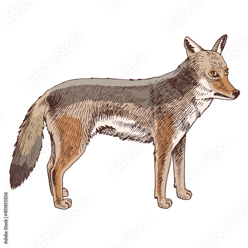 Canvas Print African Coyote isolated on white background.