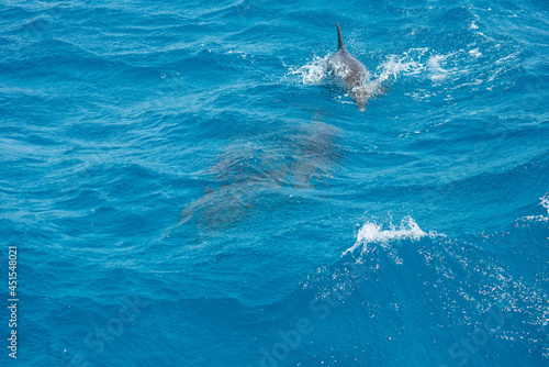 Photographie A group of bottlenose dolphins (Tursiops truncatus) swimming in the Hurghada Red
