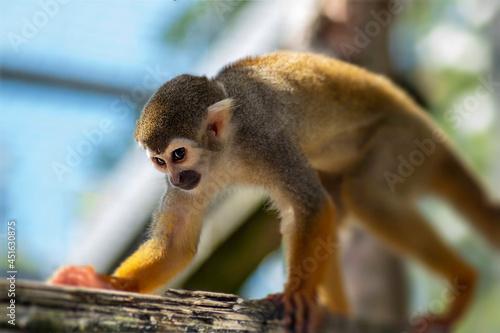 Canvas Print Squirrel monkey on tree
