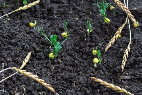 Fotografija Green peas growing in field where wheat plants were harvested, cover crops to im