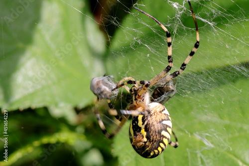 Vászonkép araignée argiope frelon Argiope bruennichi emballant ses proies