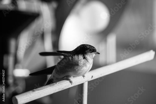 Little swallow sitting on balkony, keeping birds in captivity Fototapete