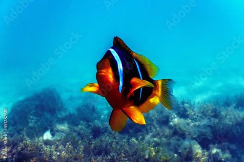 Foto Red Sea clownfish (Amphiprion bicinctus) Red Sea