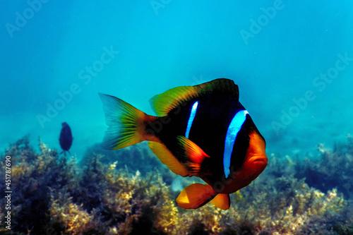 Red Sea clownfish (Amphiprion bicinctus) Red Sea Fototapet