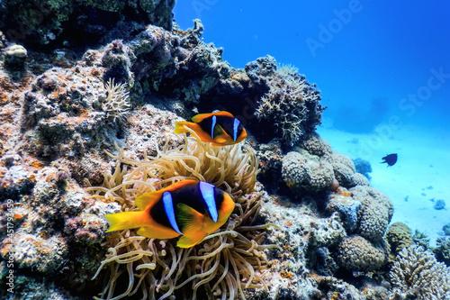 Canvas Red Sea clownfish (Amphiprion bicinctus) Red Sea
