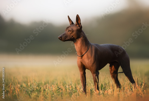 Dog with no fur named Xoloitzcuintle on sunrise in a park Fotobehang