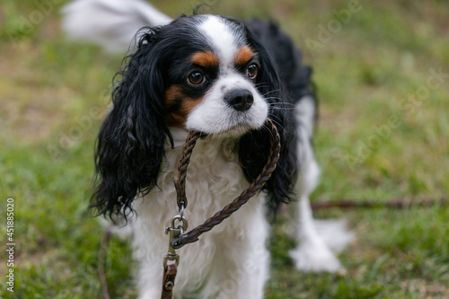 Fototapeta The dog of the Cavalier King Charles Spaniel breed holds a collar with a leash in his mouth, is going for a walk