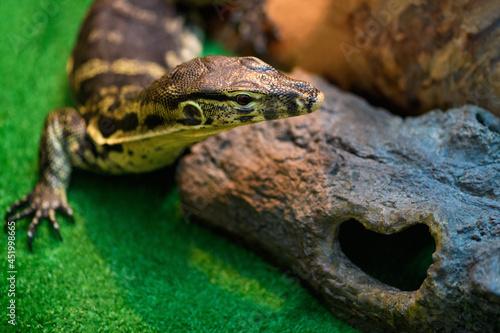Fototapeta Striped monitor lizard in a terrarium close up (Varanus, Varanidae)