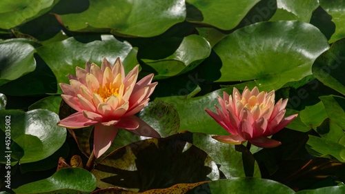 Canvas Print Two pink orange water lily or lotus flower Perry's Orange Sunset in landscaped garden pond