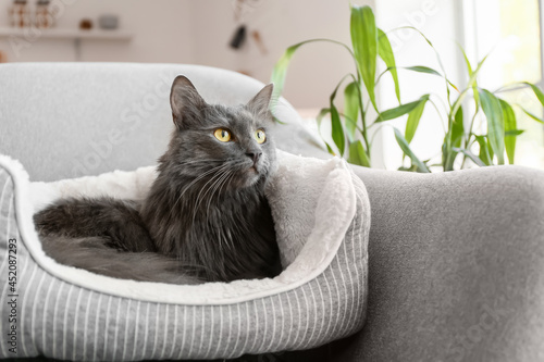Fototapeta Cute grey cat in pet bed at home