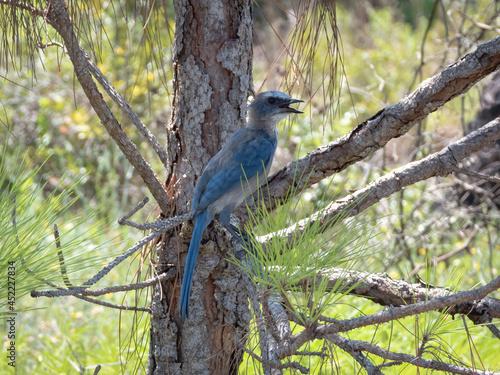 Photo Florida scrub jay perched on a limb