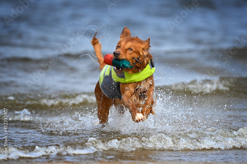 Canvas-taulu nova scotia duck tolling retriever fetching a dummy on the beach while wearing a