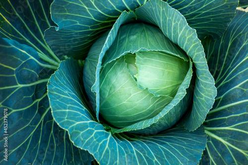 Fotografia, Obraz Big green cabbage on the farm. Vegetarian food background.